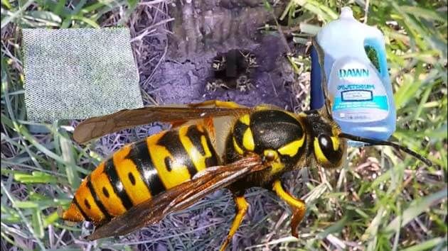 get rid of yellow jackets in the ground