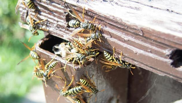 yellow jackets nest in your home structure