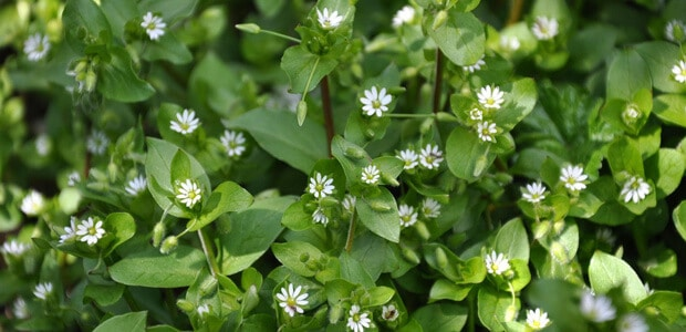 Chickweed in your garden