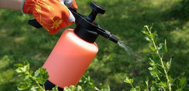 Use Post-Emergent Chemicals to kill chickweed