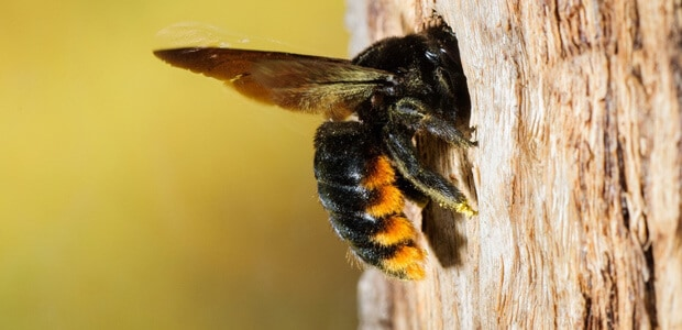 Carpenter Bees Prefer Woods