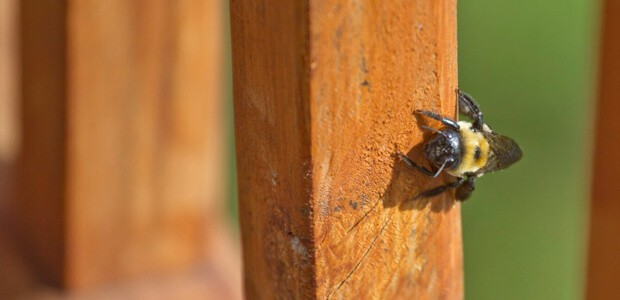 Carpenter Bees favorite areas