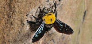 Get Rid of Carpenter Bees