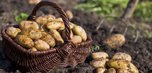 harvesting time for your potato