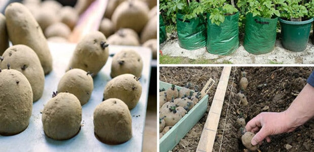 start planting potatoes
