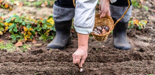 Planting Garlic Strategies