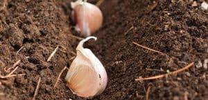 good topsoil for garlic