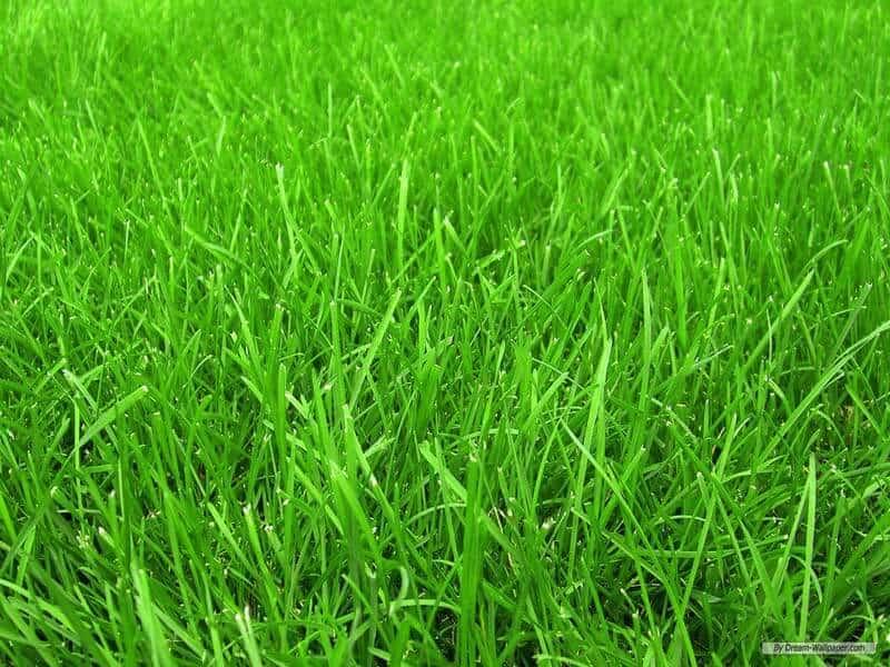 cool season grass