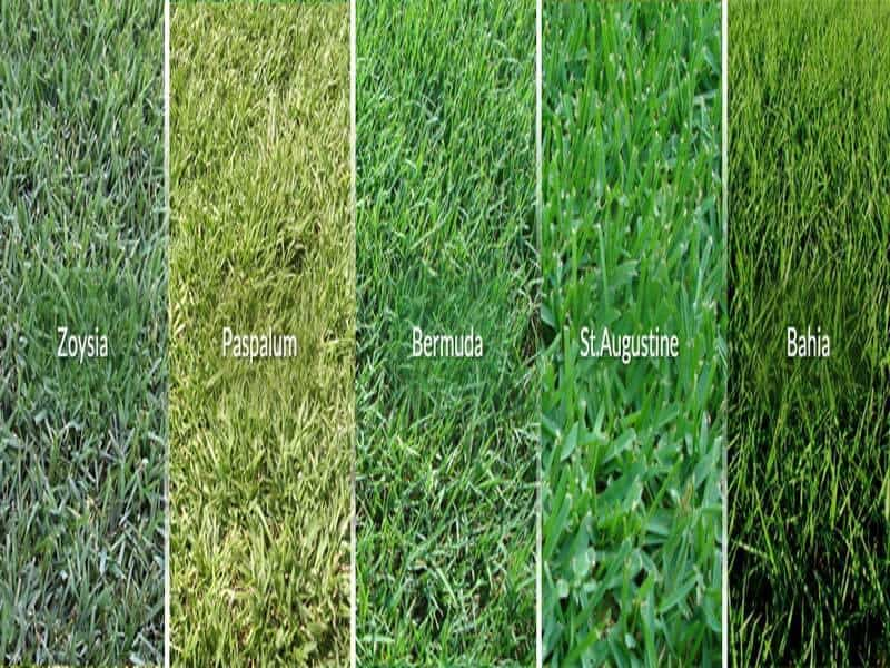 main grass varieties for lawns