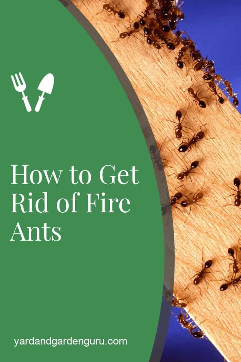 How to Get Rid of Fire Ants
