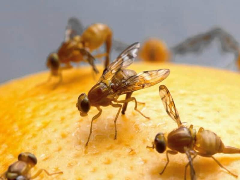 How to get rid of Fruit Fly