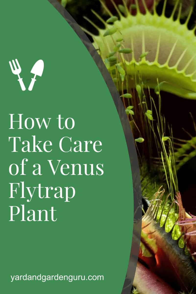 How to Care for Venus Fly Trap Plant
