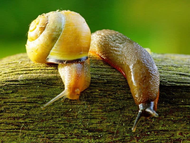 Slugs and Snails in your garden