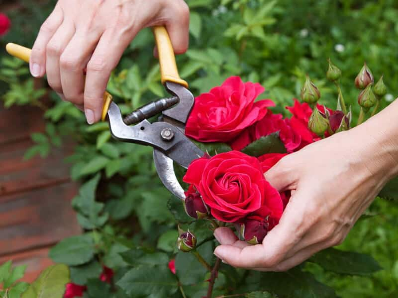 Guide in Pruning Rose Bushes