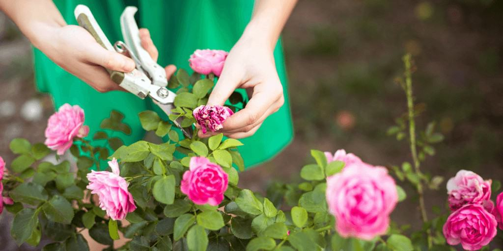 How to Prune a Rose Bush