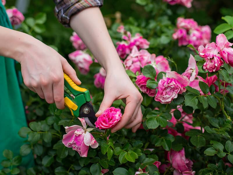 Pruning Requirements for Different Types of Roses