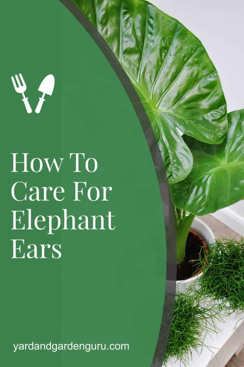 How To Care For Elephant Ears
