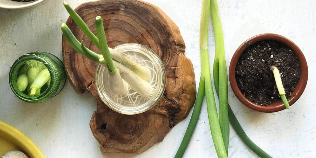 How To Grow Green Onions From Cuttings