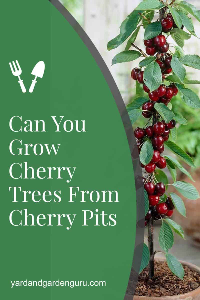 Can You Grow Cherry Trees From Cherry Pits