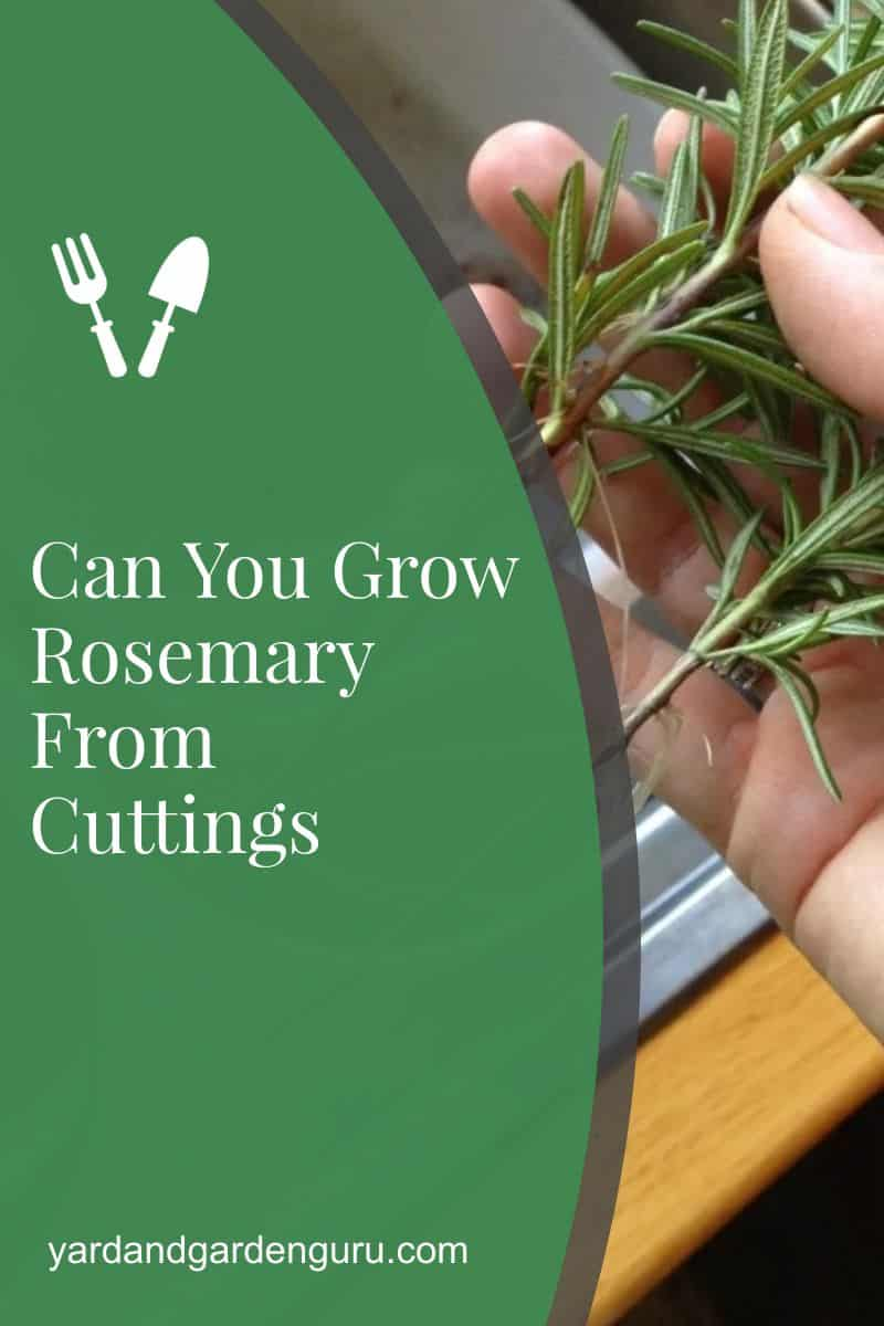 Can You Grow Rosemary From Cuttings