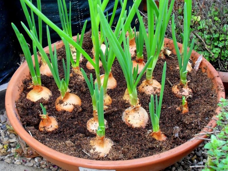 Grow Onions In Pots