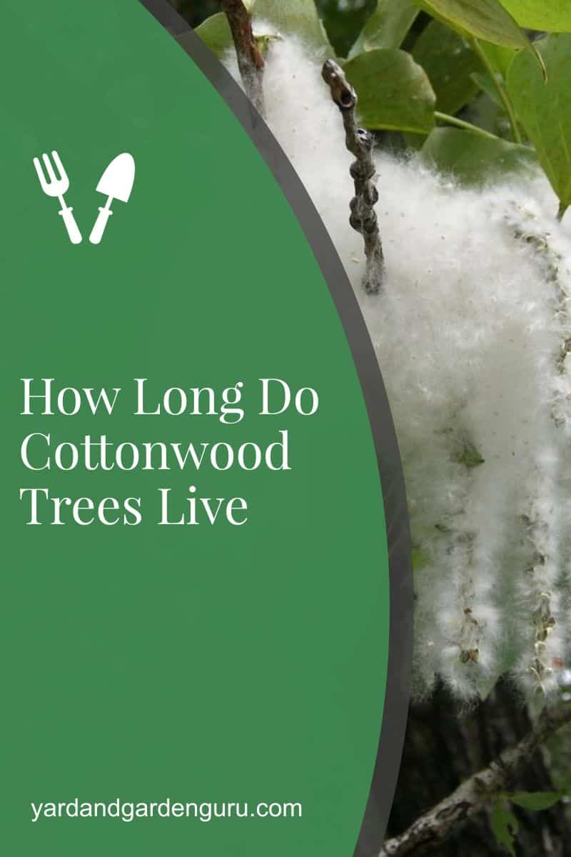 How Long Do Cottonwood Trees Live