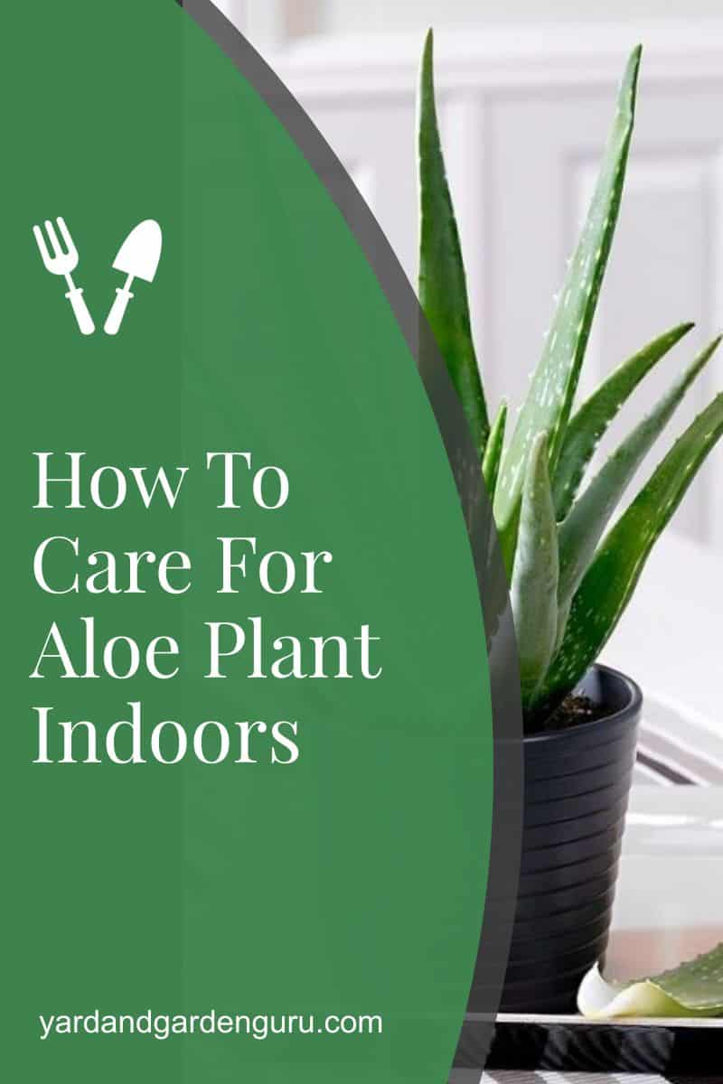 How To Care For Aloe Plant Indoors