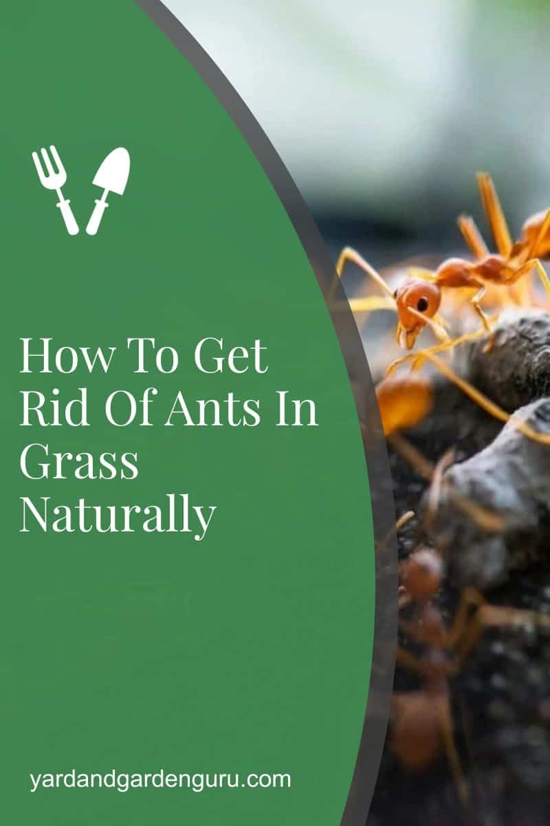 How To Get Rid Of Ants In Grass Naturally