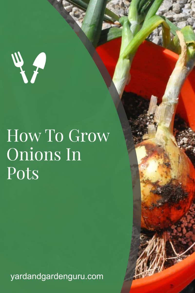 How To Grow Onions In Pots