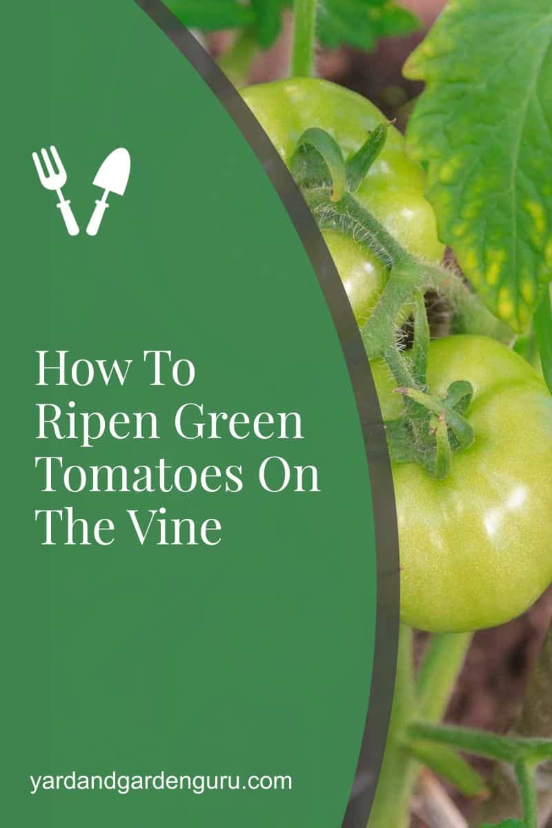 How To Ripen Green Tomatoes On The Vine