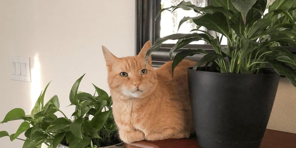 Is A Peace Lily Toxic To Cats