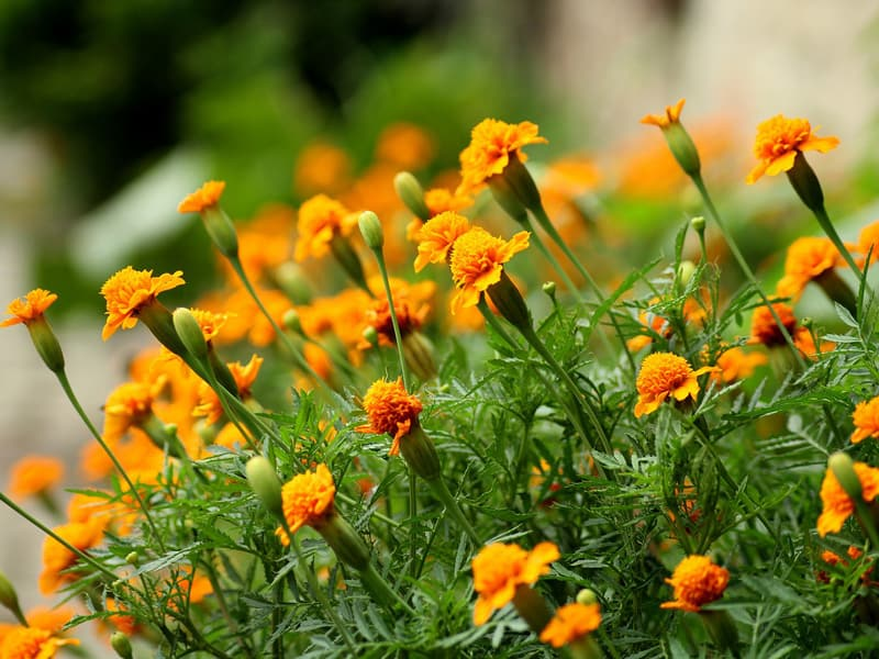 Marigold Plant that Repels Flies and Mosquitoes