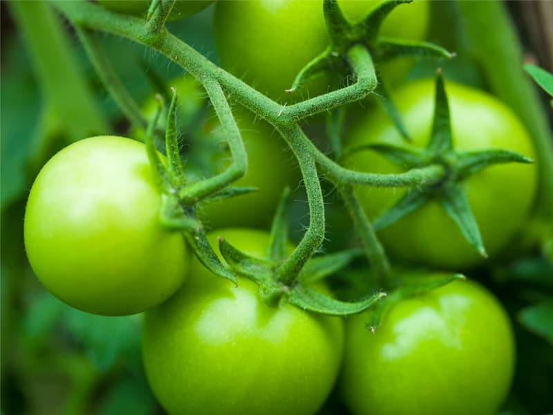 Ripen Green Tomatoes On The Vine