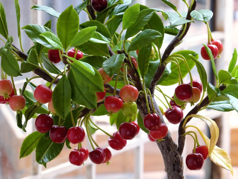 Tips in growing a Cherry Tree