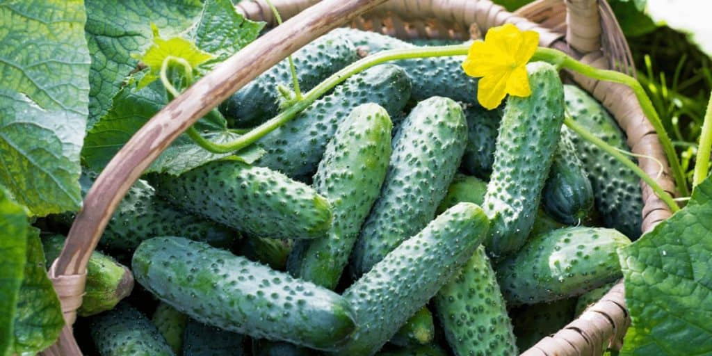 What Causes Cucumbers To Be Bitter