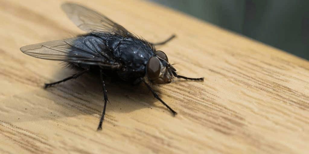Big Fat Black Flies In My House