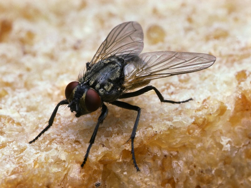 Dealing with Black Flies in House