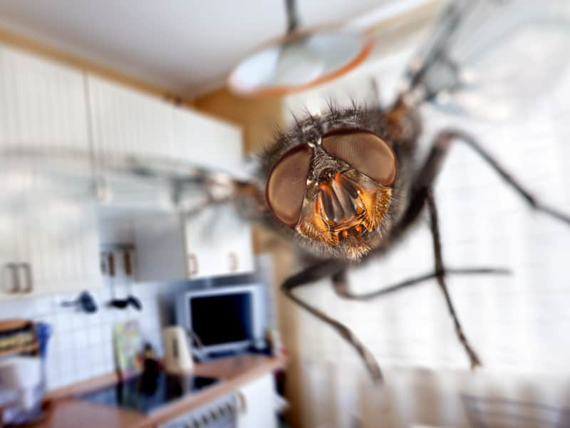 Get Rid of Big Black Flies in your House
