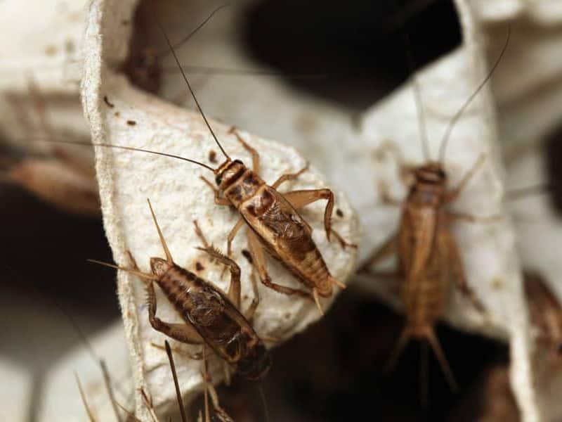 Get Rid of Crickets