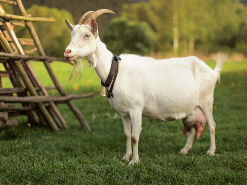Goat and Barn