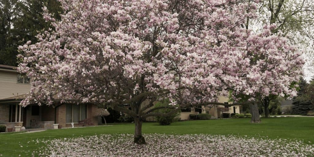 How To Plant A Magnolia Tree