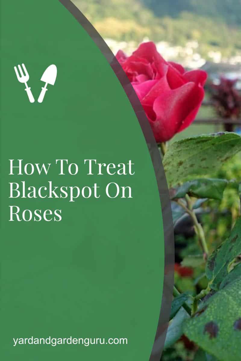 How To Treat Blackspot On Roses
