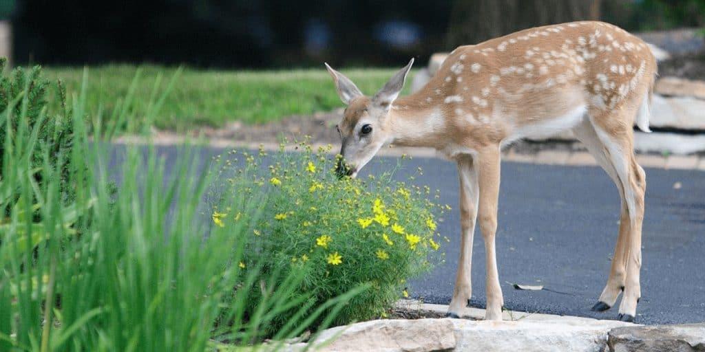 Natural Deer Repellent Essential Oils