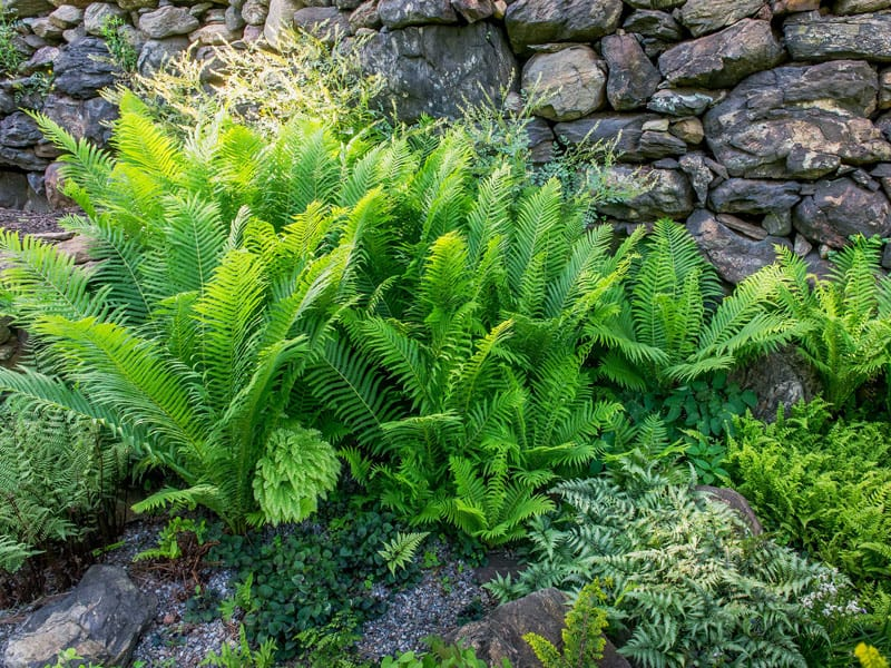 Tips on Caring For Outdoor Ferns