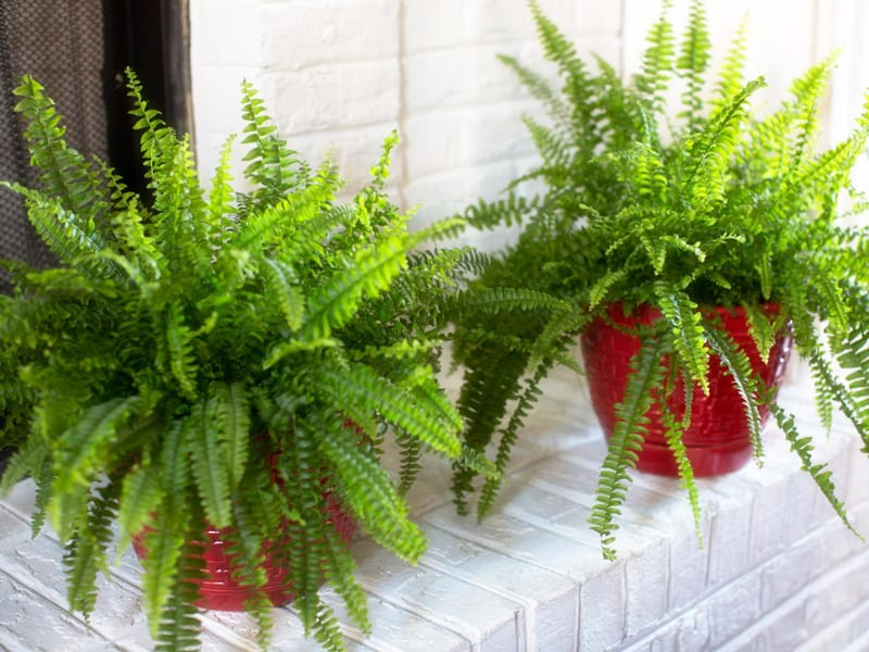 Types of Outdoor Ferns