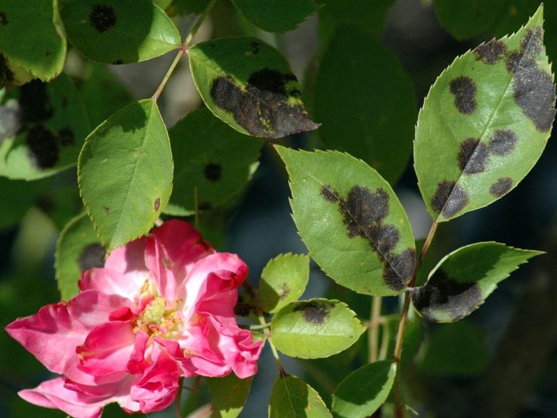 Ways to Treat Blackspot On Roses