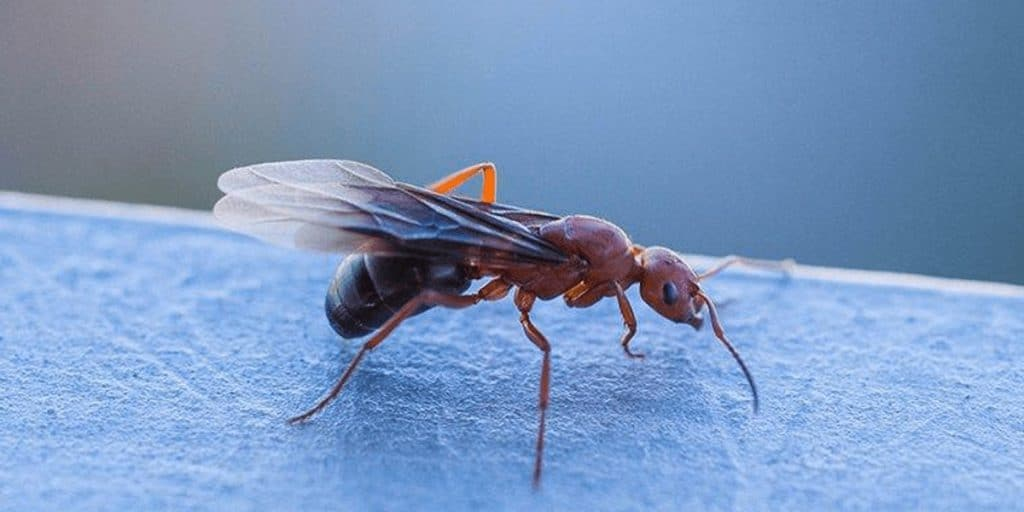 What Kinds Of Ants Have Wings