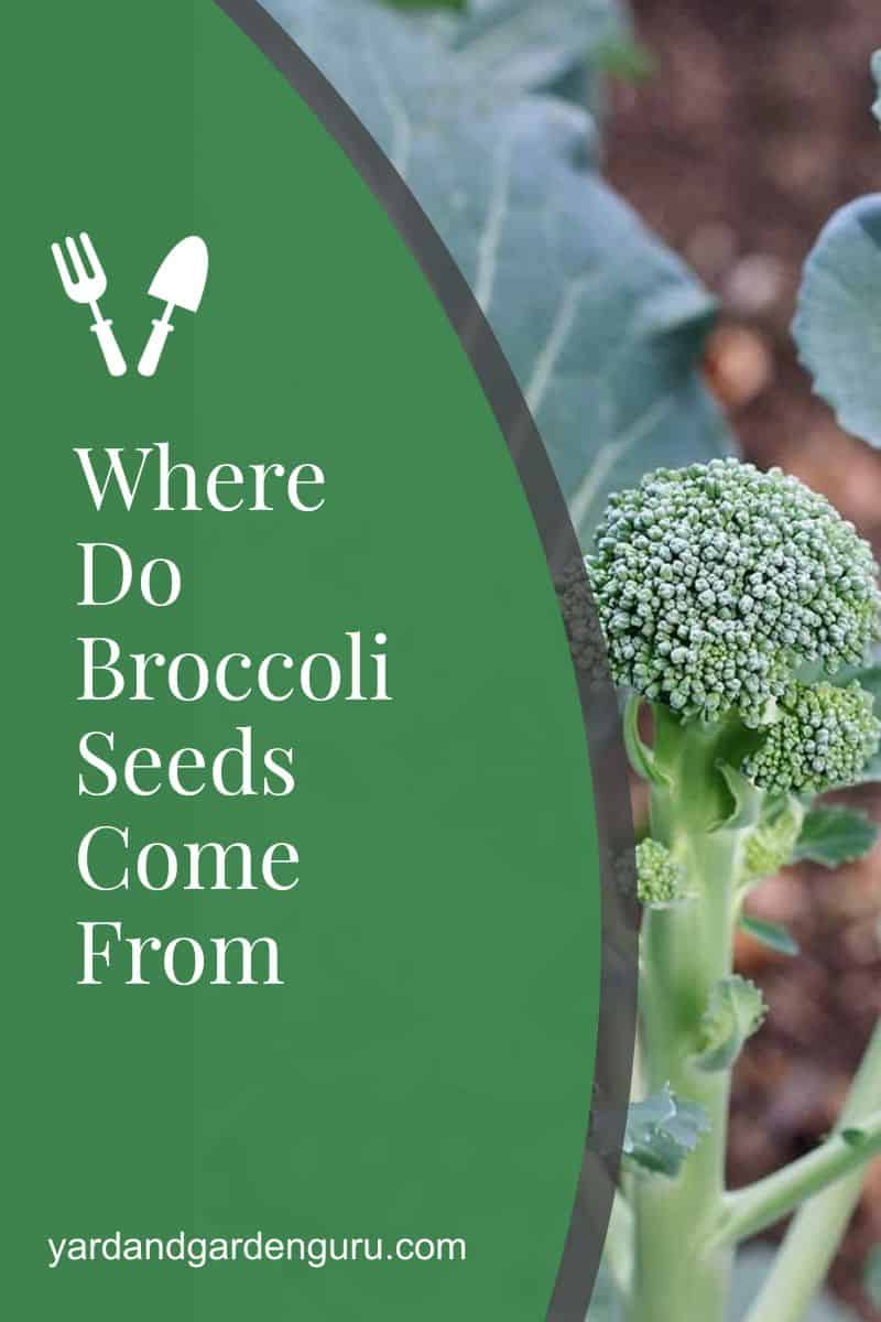 Where Do Broccoli Seeds Come From