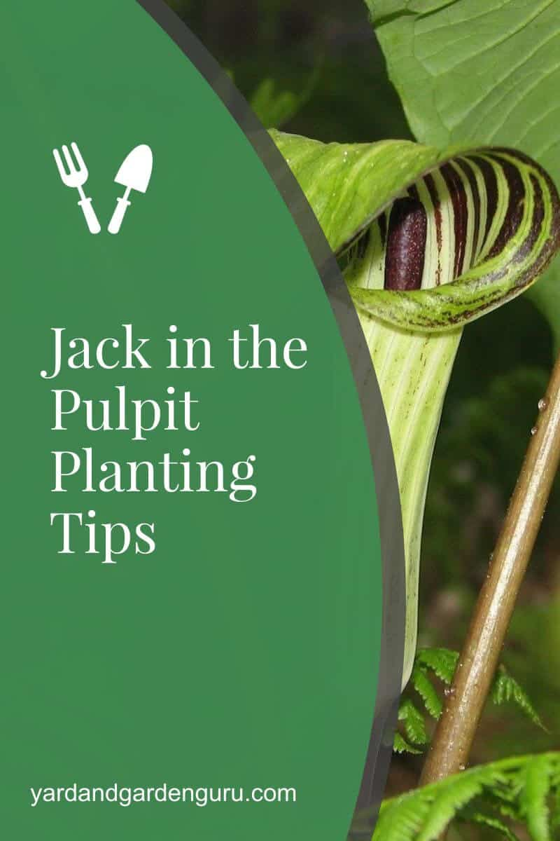 Jack in the Pulpit Planting Tips