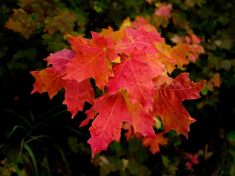 Leaves of a red maple tree